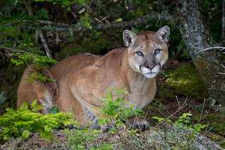 Mountain Lion - My 1,000th Image