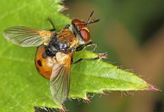 Fly - Gymnosoma rotundatum male (timz501) Tags: fly jersey tachinidae gymnosomarotundatum