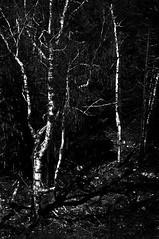 Ghost Birches (Seeing Visions) Tags: trees shadow bw usa nature mi america forest dark us moody unitedstates michigan birchtrees presqueisle monocrome 2013 raymondfujioka