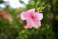 Jamaican Flower (DavinG.) Tags: pink plant flower 35mm canon jamaica 5dmk3 davingphotography