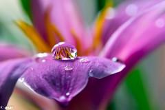Nature's Lens (ArvinderSP) Tags: flower nature water reflections lens lily drop arvinder nikon28105f3545d nikond7000 arvinderspcom