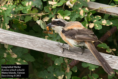 Long-tailed Shrike (Lanius schach schach) (Dave 2x) Tags: food feeding eating taiwan snack matsu shrike laniusschach longtailedshrike daveirving matsuislands laniusschachschach httpwwwdaveirvingwildlifephotographycom