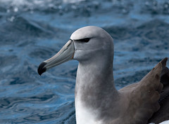 Shy Albatross - steadi (TimBawden) Tags: steadi shyalbatross