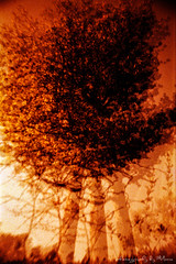Tree inferno in redscale (ShimmeringGrains.com) Tags: tree film analog lomo lomography doubleexposure double 35mmfilm scanned impressionistic scannad c41 multiexposures redscale tetenalc41 treesdiestandingup visionqualitygroup visionquality100 c41homeprocessed c41diy magicunicornverybest lomographyredscalexr50200 lasardinatheczar