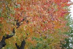 ナンキンハゼ : Triadica sebifera (eyawlk60) Tags: autumn canon eos 大阪 秋 木 街路樹 ナンキンハゼ lateautumn 晩秋 40d triadicasebifera