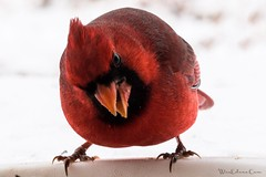 20131207-05292 (Wes Edens) Tags: winter red snow bird oklahoma cardinal sony redbird ssm70400g