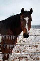 Icy fence (NutMegMae) Tags: winter horses horse snow ice horsey winterscape icesickles
