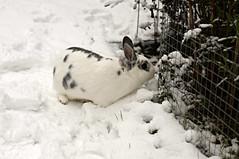 Rory (Tjflex2) Tags: boy pets canada cute rabbit bunny bunnies girl vancouver mammal furry bc friendship fuzzy conejo small adorable cuddly coelho playful lapin usagi snowday hrs krolik kanin toki houserabbitsociety lagomorpha leporidae lepus fenek iepure muyal kelinci ilconiglio vancouverrabbitrescue coinin sungura leporidea roryandmoko