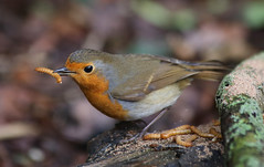 there's a worm at the bottom of my garden and his name is wiggly woo (explored) (Dawn Porter) Tags: bird robin somerset