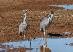 Sandhill Cranes (D. Aber) Tags: sandhillcranes