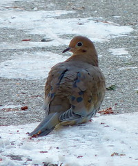 Mourning Dove (Dendroica cerulea) Tags: winter birds garden newjersey dove nj aves mourningdove highlandpark zenaidamacroura zenaida columbidae middlesexcounty neornithes columbiformes neoaves neognathae metaves polarvortex leptotilinae columbimorphae