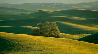 Lone Tree in Rolling Fields of Wheat
