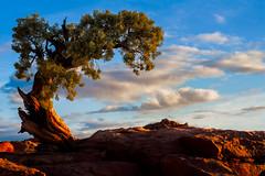 Dead Horse Point Tree (32-bit HDR) (howardignatius) Tags: sky tree clouds sunrise utah rocks hdr deadhorsepointstatepark