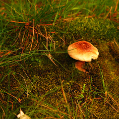 in the wood, there is... (diatoscope) Tags: green mushroom forest moss nikon amanite d80