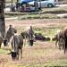 The Wild Wildebeest _0803