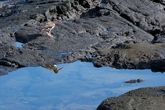 "_DSC6795 - Version 3  birds and ""Marine Iguana"" Iguana Marina (ChanHawkins) Tags: santiago reflections puerto am april sat marineiguana egas 13 galapagos iguana marinabird"