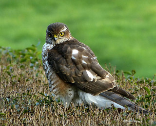 Sparrow hawk on our hedge