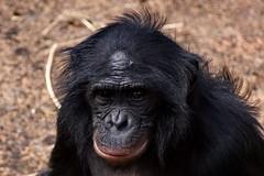 Bonobo mother (DirkVandeVelde (very busy)) Tags: zoo monkey europa europe belgium belgique belgie sony antwerp pan belgica antwerpen mechelen aap planckendael anvers primates singe malines muizen europ apen malinas chimpansees chimpanc zoogdieren paniscus pigmeo planckendaal vision:sky=0651 vision:outdoor=0793 mensachtigen mensapensoort