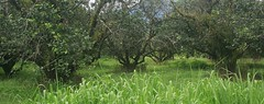 (earthly magic) Tags: trees wild hairy green nature grass farm australia abandon cairns fruittrees