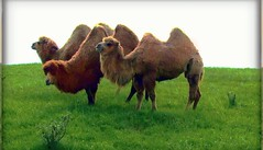 Happy hump Day!!   Here it is very rainy and dreary.so this trio brings a smile and touch of humor to brighten the day.. (DonaSite) Tags: ohio wild animals preserve thewilds may2011 speciallybuiltandnativegrassesgrownforthedifferentpasturesanddifferentwildspecies