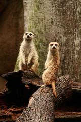 hello! (iviax.herr) Tags: animals meerkat