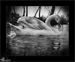 Swan (ShatteredLENS Photography) Tags: trees blackandwhite white lake reflection bird water monochrome fly swan wings ripple feathers shore greyscale mottled