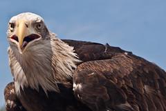 aGUILA (Hansis y Greta) Tags: madrid espaa naturaleza bird nature zoo spain europa europe eagle live safari ave pajaro aguila
