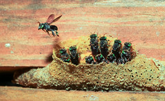 Stingless Bee Hive (Xuberant Noodle) Tags: green bug insect eyes nest bees sting bee hive colony stingless