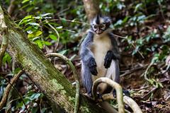 Thomas Leaf Monkey 4718 (Ursula in Aus (Resting - Away)) Tags: animal sumatra indonesia monkey unesco bukitlawang gunungleusernationalpark earthasia sumatrangrizzledlangur thomasslangur presbytisthomasi thomasleafmonkey