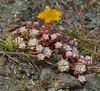 Broadleaf Stonecrop (Dennis Cheasebro) Tags: yellow oregon crassulaceae sedum stonecrop gow sedumspathulifolium saxifragales 5petals roundcluster wfgna broadleafstonecrop blacklockpoint