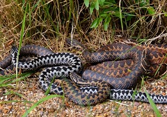 Many Adders basking in the sun (its that time of the year again!) (One more shot Rog) Tags: hot nature fauna dance dancing wildlife v viper zigzag adder poisonous venomous basking zigzags adders vipers onemoreshotrog adderdance rogersargentwildlifephotography britishwiildlifecentre