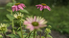 coneflower fireworks (dajonas) Tags: summer fireworks echinacea michigan fourthofjuly coneflower independenceday