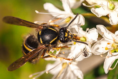 Vespid wasp feeding (A. Stavrovich) Tags: flowers macro nature closeup canon zoom russia outdoor wildlife bees ngc insects bee canon70300is wowiekazowie canon5d2 kojonsaari