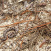 Western Pygmy Rattlesnake, Young