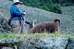 Peru-0724.jpg (Matt and Debbie) Tags: peru llama 2015 wayna winaywayna wiay