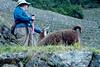 Peru-0724.jpg (Matt and Debbie) Tags: peru llama 2015 wayna winaywayna wiñay