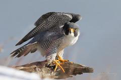 Peregrine Winter (johnbacaring) Tags: falcon peregrine raptor winter snow birding