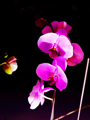 IMG_0500a (bfatphoto) Tags: flower show beauty love 蘭花