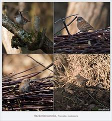 KUSA-8797 (Weinstöckle) Tags: heckenbraunelle vogel