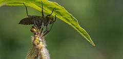 Dragonfly leaving it's  underwater home (pe_ha45) Tags: dragonfly libelle exuvie metamorphosis metamorphose libellule