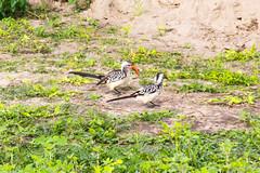 Red-billed Hornbill (Ralph Apeldoorn) Tags: africa bird botswana chobe chobenp hornbill neushoornvogel redbilledhornbill southernafrica vogel northwestdistrict