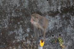 台灣獼猴 Taiwan macaque (Chi-Hung Lin) Tags: 2017 台灣 雲林 林內 taiwan yunlin 動物 獼猴 猴子 monkey 台灣獼猴 保育動物 animal 野生