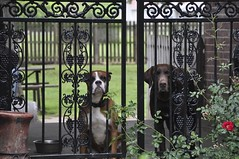 Behind the Fence (Plummerhill) Tags: dogs rose fence gate wroughtiron woodfence