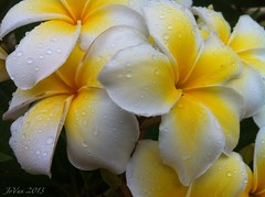 frangipani of a different color (angelinejovan) Tags: white flower yellow flora grenada caribbean carriacou
