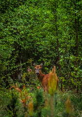 Spotted! Dear Deer in Spring (The Danish Girl) Tags: summer brown tree green nature animal canon garden fur denmark forrest wildlife deer springtime