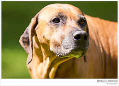 up close and personal part III (mlofenfeld {Michael Lofenfeld Photography}) Tags: pets dogs closeup may rhodesianridgeback 2013 canon50d photographymichaellofenfeldallrightsreserved