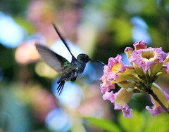 hummingbird and Ipe flower (CMK Fujisakura) Tags: brazil nature hummingbird beijaflor passaros
