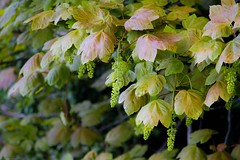 Sycamore! (judy dean) Tags: naturethroughthelens