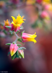 Echeveria (alan shapiro photography) Tags: flowers flower nature alan flowering fullcolor alanshapiro natureplus flowerwatcher naturewatcher awesomeblossoms flowerincolor ashapiro515 alanshapirophotography
