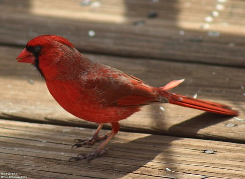Beautiful Male Cardinal